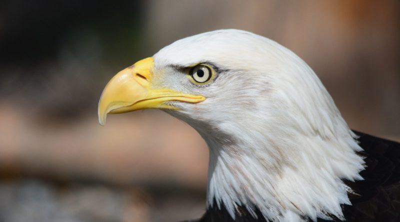 bald-eagle-140793_1280